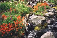 Alpine flowers along a stream