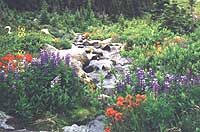 Wildflowers along a protected streambed