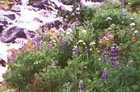 High alpine flowers