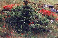Spruce tree surrounded by Indian Paintbrush