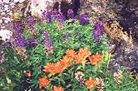 Lupin and Indian Paintbrush