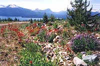 Alpine flowers above Charlotte Lake