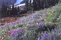 Alpine flowers just below a glacier