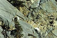 Mountain Goats on cliff face